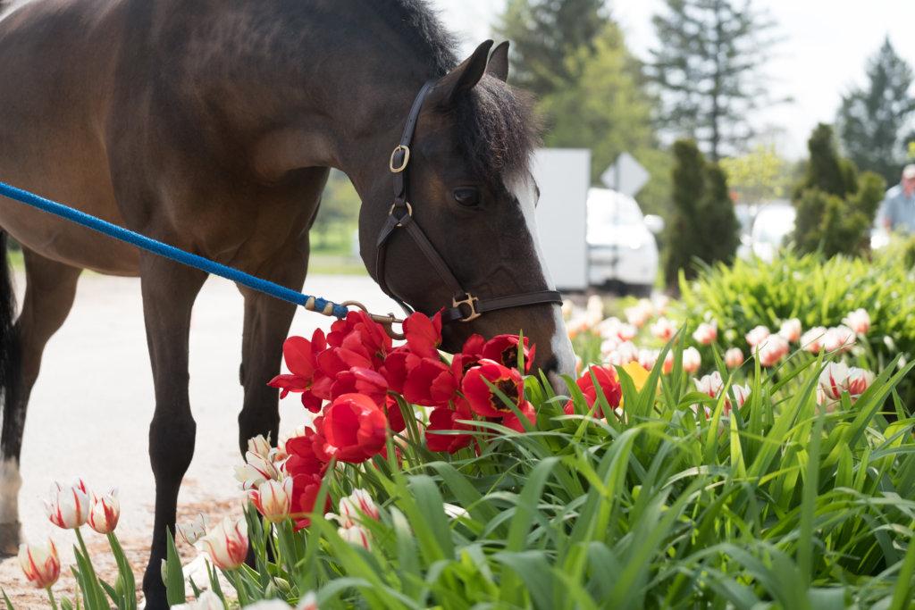 Pony with Canada 150 Tulips by Orange Horse Studio